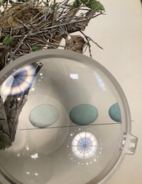 Magnifying glass over an illustration of a bird's nest and three eggs, reflection of the AAS reading room dome in the lens