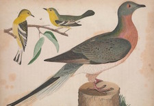 passenger pigeon and blue-mountain warbler from Alexander Wilson's American Ornithology